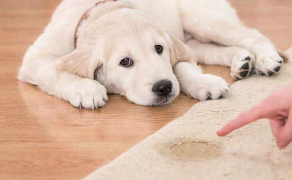 Pet Stains On Your Carpet- Frustrating, Right?